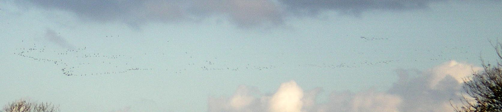 geese-flying.jpg