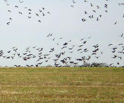 geese-landing.jpg