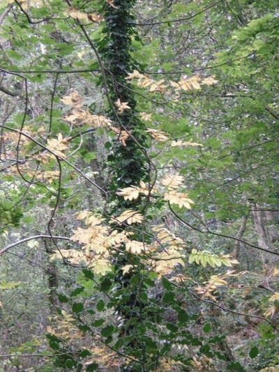 rowan-leaves.jpg