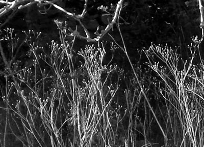 tree-and-dead-flowers-bw-close.jpg