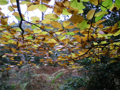 beech-leaves-copy.jpg