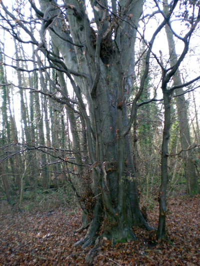 beech-tree.jpg