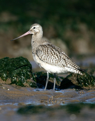 bar-tailed-godwit-72757_std.jpg