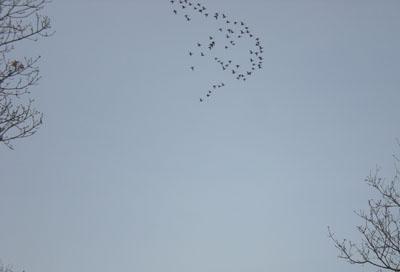 geese-above.jpg
