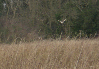 owl-hunting.jpg