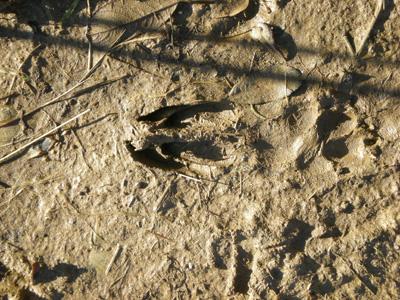 deerfootprint.jpg