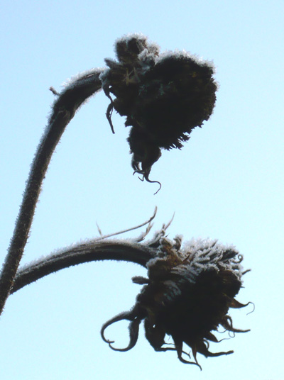 sunflower-heads-in-frost.jpg