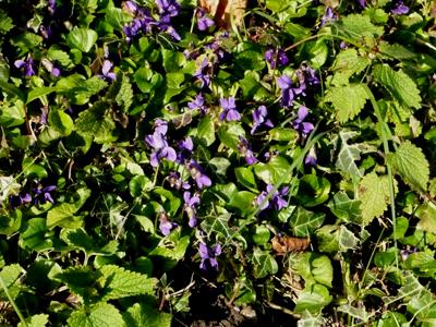 moreviolets.jpg