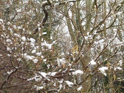 snowicinghazel.jpg
