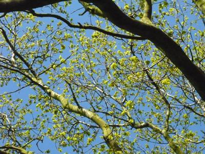oakbudding.jpg