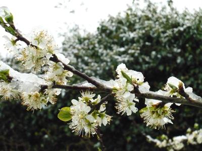 plum-blossom-ice.jpg