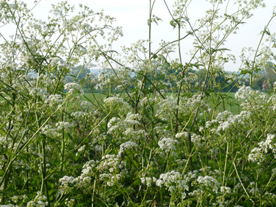 cowparsley1small.jpg