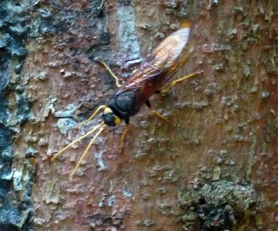 giantwoodwasp.jpg