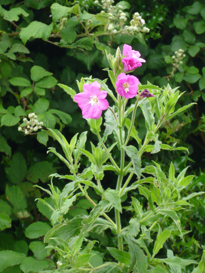 great-willowherb.jpg