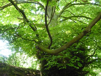 hedge-beech.jpg