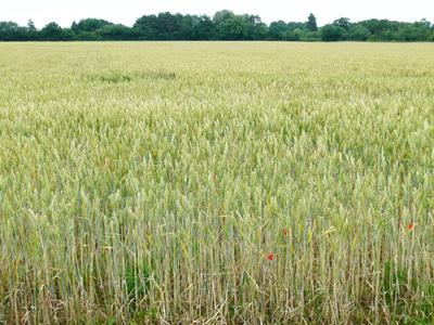 henrys-wheat.jpg