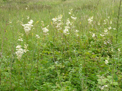 meadowsweet.jpg