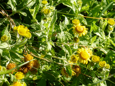 corn-marigold.jpg