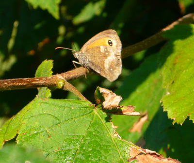 meadow-brown.jpg