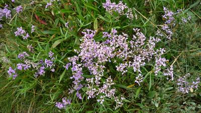 sea-lavender.jpg