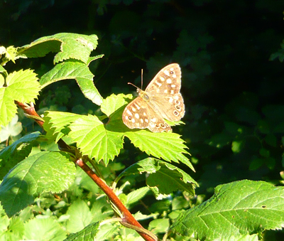 speckled-wood.jpg