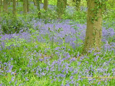 bluebells-small.jpg