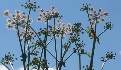 hogweed.jpg