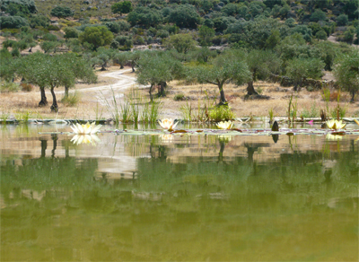 lilies-in-the-olive-grove.jpg
