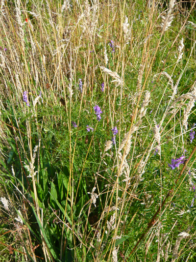 purple-vetch.jpg