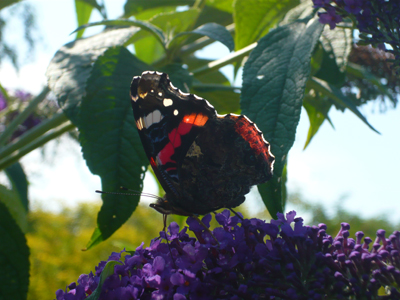 red-admiral2.jpg