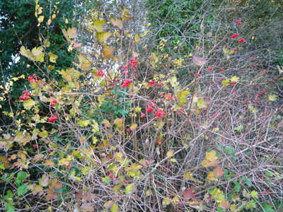 a-guelder-rose.jpg