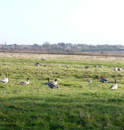 geese.jpg