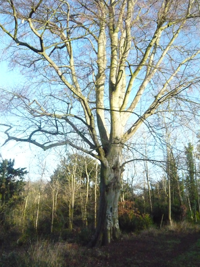 a-beech-tree.jpg