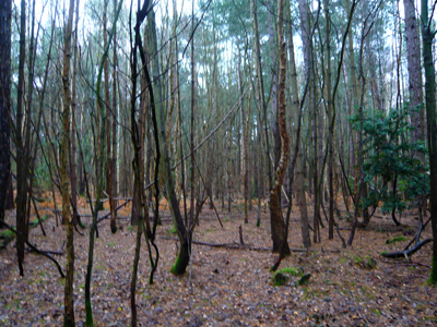 a-birch-copse.jpg