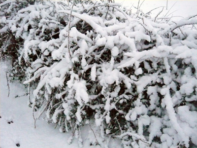 a-pretty-snow-hedge.jpg