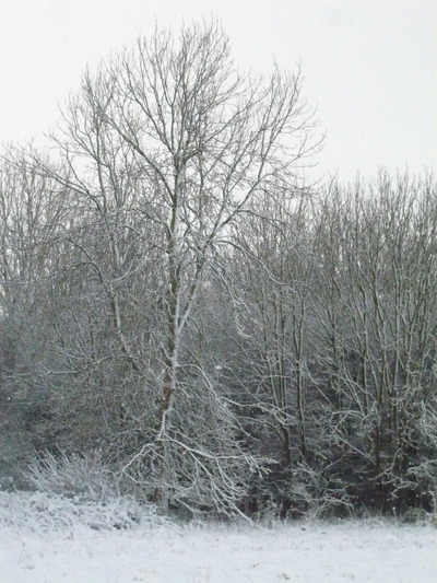 a-snowy-ash-tree.jpg