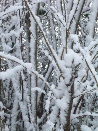 a-snowy-hazel-hedge.jpg