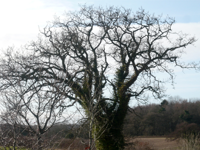 01-oak.jpg