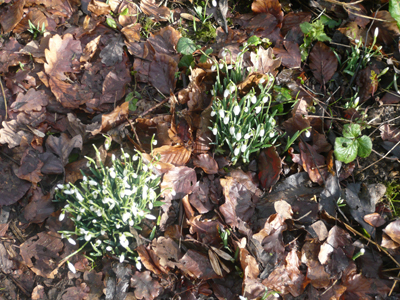 00snowdrops.jpg