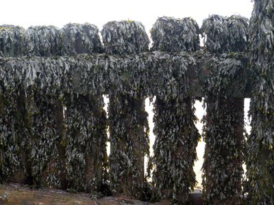 a-weed-covered-groyne.jpg