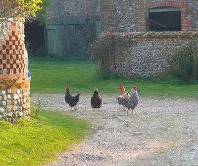 1chickens.jpg