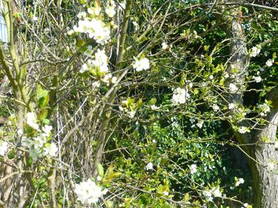 1damson-blossom.jpg