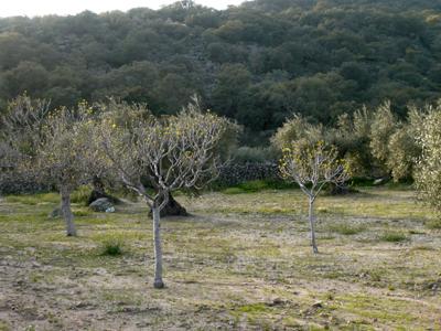 1figtrees.jpg