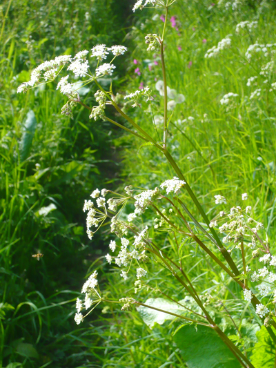 13cowparsley.jpg