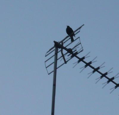 2blackbird.jpg