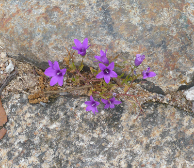 camino-little-purple-rock-flower.jpg
