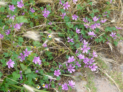 camino-mallow-flowers.jpg