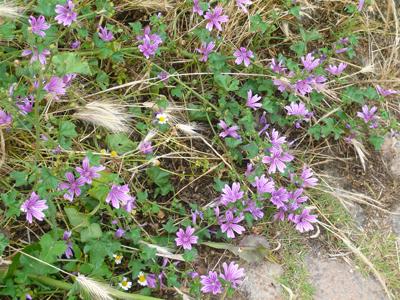 camino-mallow-flowers.jpg