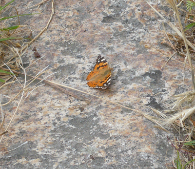 camino-painted-lady.jpg
