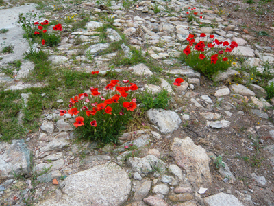 camino-poppies.jpg